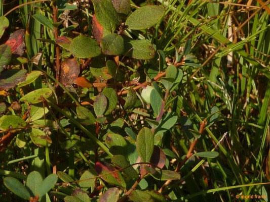 Vaccinium uliginosum / Gewöhnliche Rauschbeere, Moorbeere