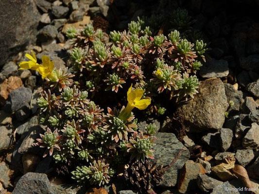 Androsace vitaliana / Goldprimel (Botanischer Garten Adorf im Vogtland)