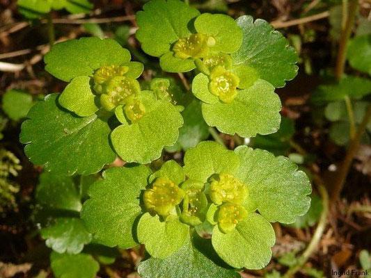 Chrysosplenium alternifolium - Wechselblättriges Milzkraut