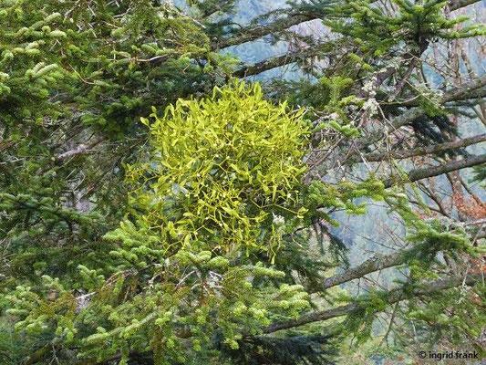 Viscum album ssp. abietis - Tannen-Mistel