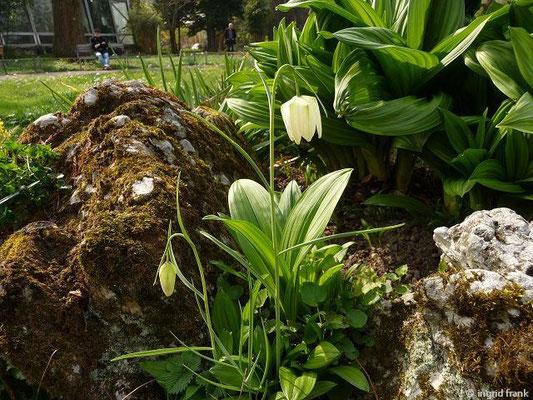 Fritillaria meleagris - Schachbrettblume