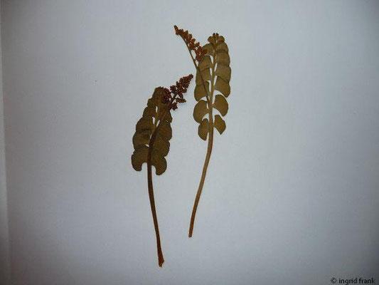 Botrychium lunaria - Echte Mondraute