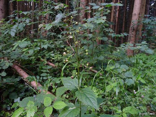 Scrophularia nodosa / Knotige Braunwurz