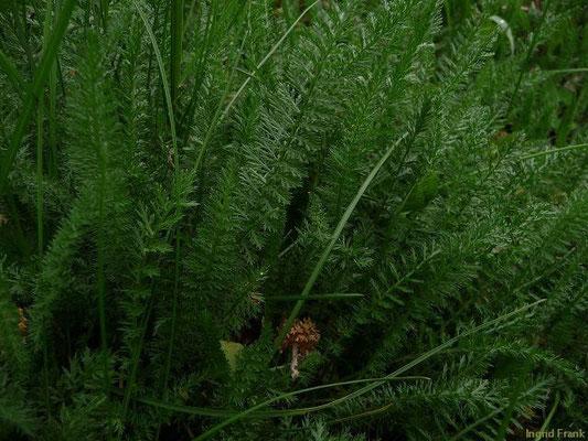 02.05.2010-Achillea millefolium - Wiesen-Schafgarbe