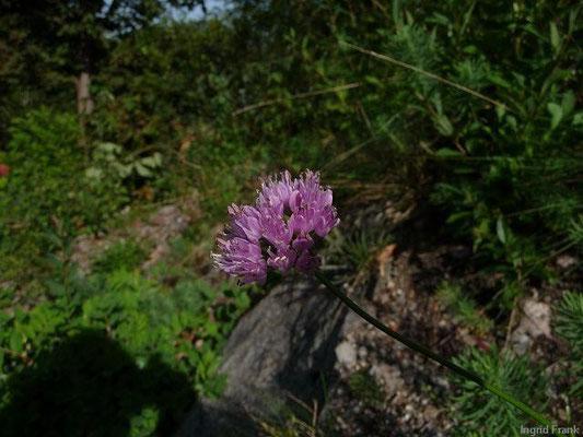 Allium senescens ssp.montanum - Berg-Lauch