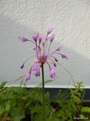 Allium carinatum ssp. carinatum / Gewöhnlicher Gekielter Lauch (auf meiner Dachterrasse)