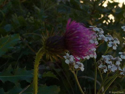 Carduus nutans - Nickende Distel
