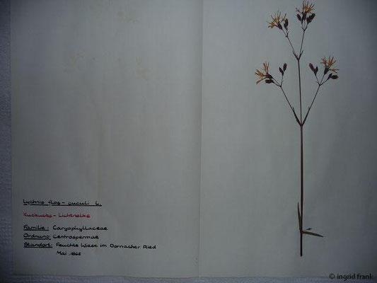 (73) Lychnis flos-cuculi - Kuckucks-Lichtnelke