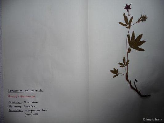 (20) Comarum palustre - Sumpf-Blutauge