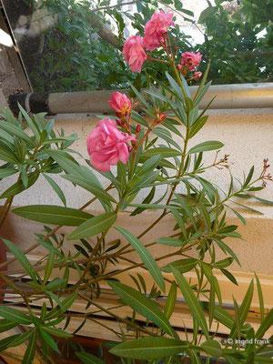 Nerium oleander - Gewöhnlicher Oleander (Heimat: Mittelmeergebiet, S-Portugal, Iran bis Ostasien)
