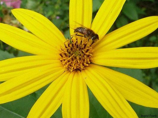 Helianthus tuberosus - Topinambur