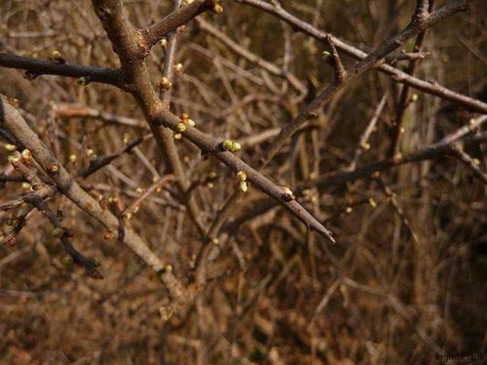 25.03.2012-Prunus spinosa / Schlehe, Schwarzdorn