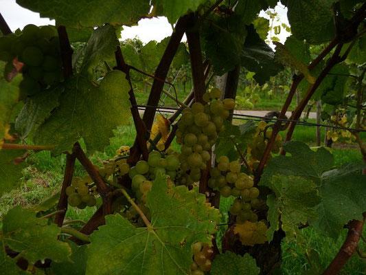06.10.2012 - Kultur-Rebe / Vitis vinifera