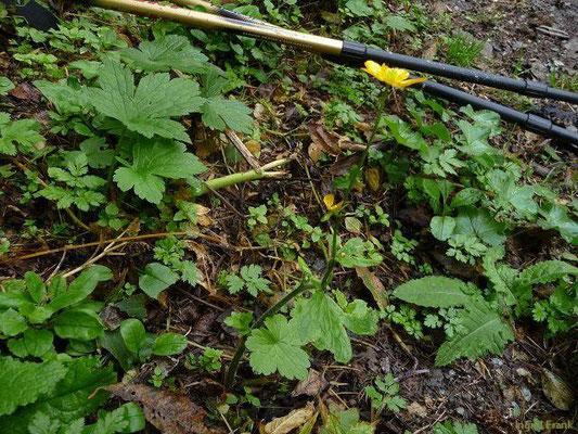 Ranunculus montanus - Berg-Hahnenfuß