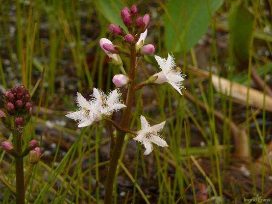 Menyanthes trifoliata / Fieberklee, Bitterklee