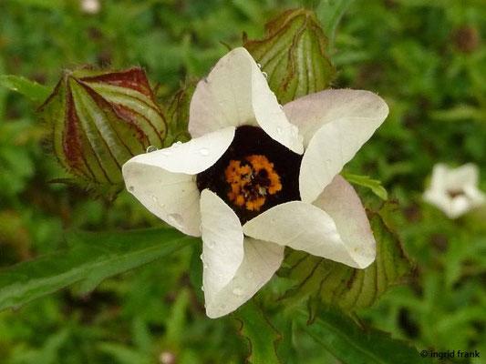 Hibiscus trionum - Stundeneibisch (Botanischer Garten Universität Heidelberg)