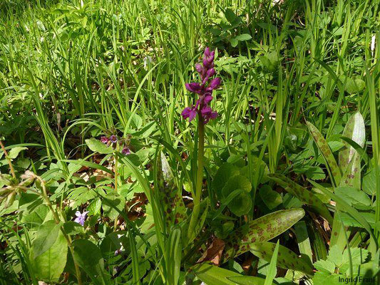 Orchis mascula / Männliches Knabenkraut