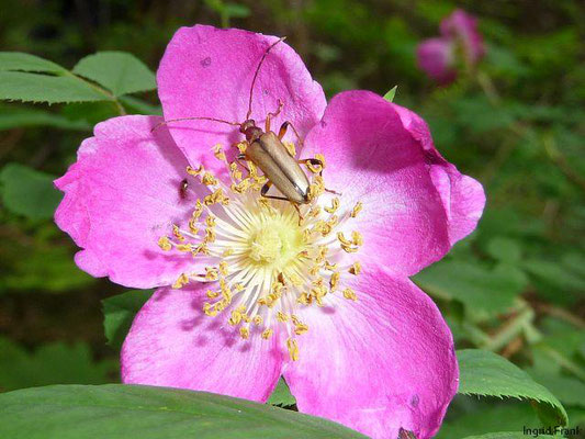Rosa pendulina / Alpen-Rose, Gebirgs-Rose