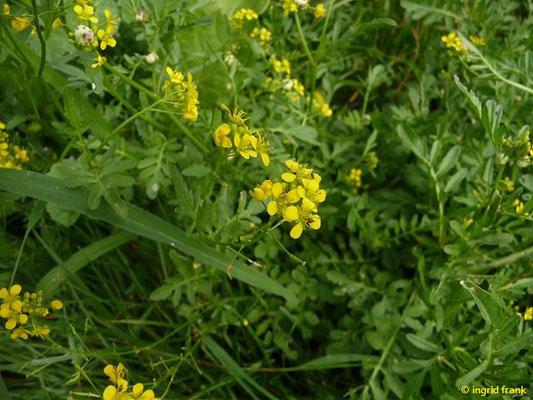Rorippa sylvestris / Wilde Sumpfkresse