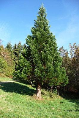 Sequoiadendron giganteum - Riesenmammutbaum (bei Vehingen)