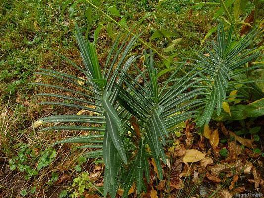 13.10.2011-Euphorbia lathyris - Kreuzblättrige Wolfsmilch