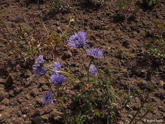 Jasione laevis - Ausdauerndes Sandglöckchen    VII-VIII  (Botanischer Garten Berlin)