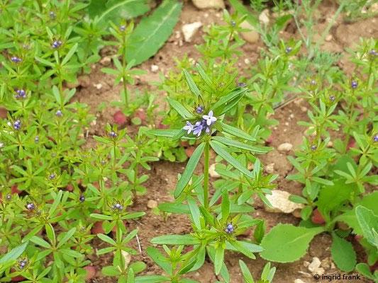 Asperula arvensis - Acker-Meier    V-VI