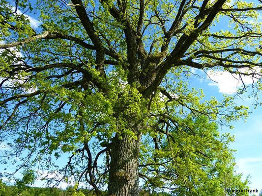 Quercus robur / Stiel-Eiche