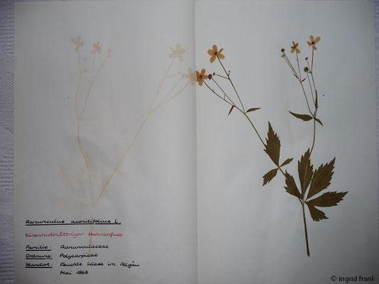 (7) Ranunculus aconitifolius - Eisenhutblättriger Hahnenfuß