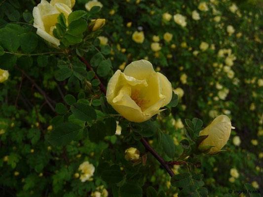 Rosa hugonis - Chinesische Gold-Rose