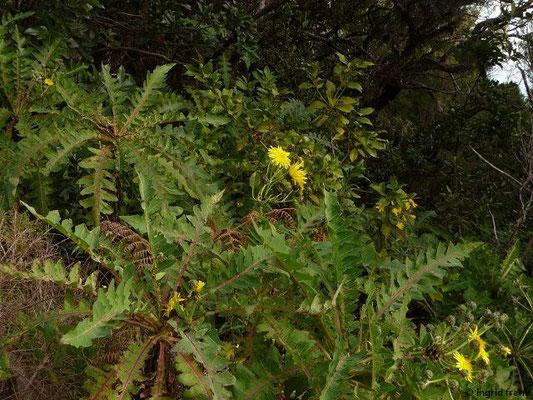 Sonchus hierrensis - Hierro-Gänsedistel