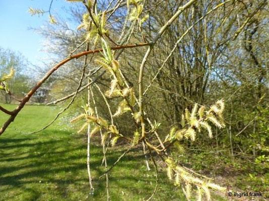 Salix elaeagnos / Lavendel-Weide