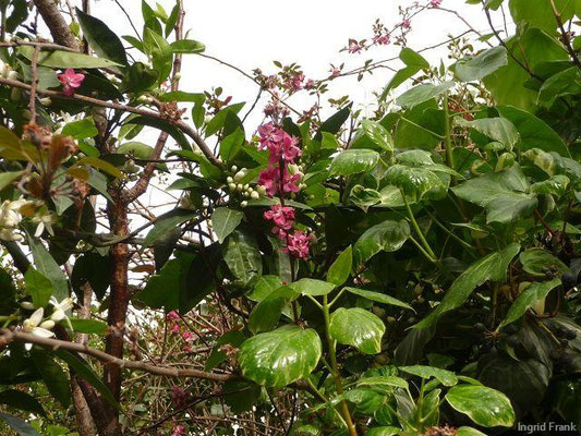 06.04.2013-Prunus armeniaca(Mi.) u. Citrus sinensis(li.)