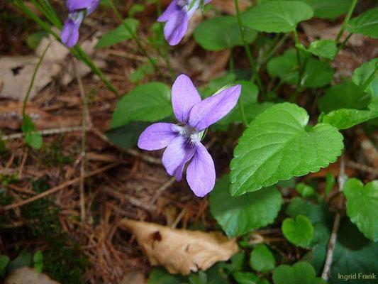 Viola reichenbachiana / Wald-Veilchen