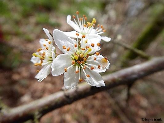 Prunus spinosa / Schlehe, Schwarzdorn
