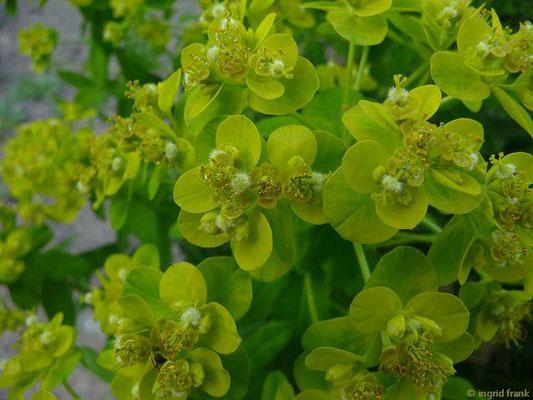 Euphorbia villosa - Wollige Wolfsmilch    V-VI