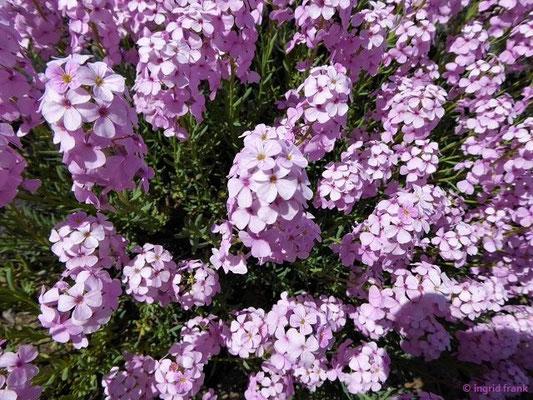 Aethionema grandiflorum - Großblütiges Steintäschel  (Heimat: Anatolien, Kaukasus bis N-Irak und Iran; Botanischer Garten  Universität Würzburg)