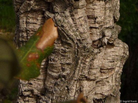 Quercus suber - Kork-Eiche