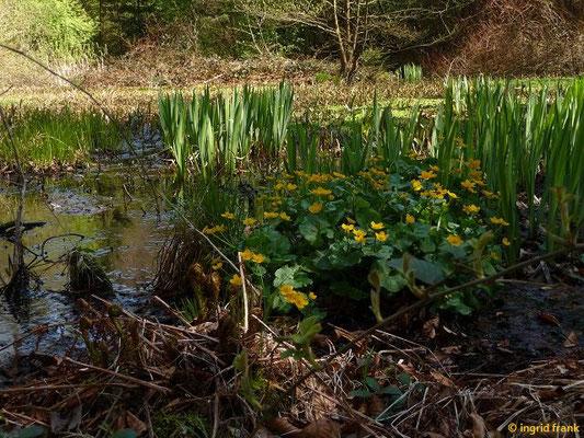 Sumpf-Dotterblume - Caltha palustris