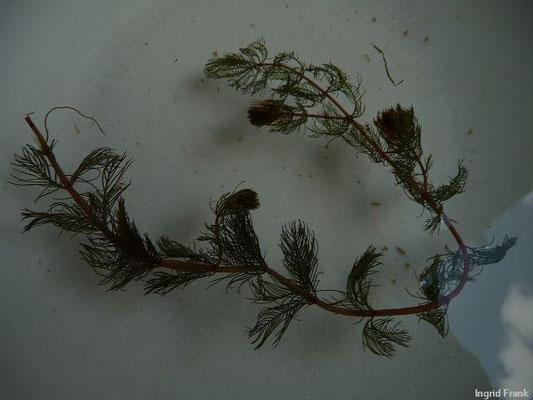 18.08.2013-Myriophyllum verticillatum - Quirlblütiges Tausendblatt (im Bodensee gefunden im Freibad Lindenhof Bad Schachen)