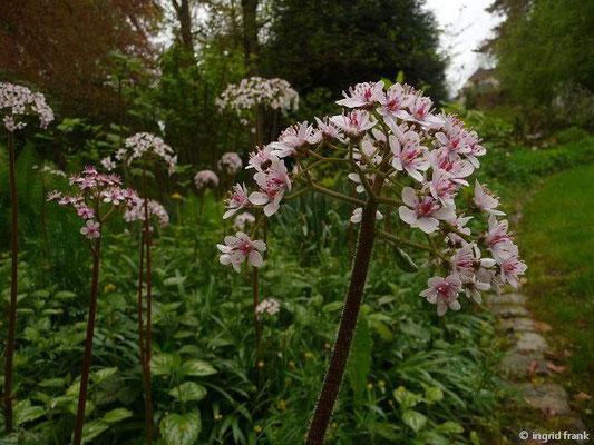 Peltiphyllum peltatum - Schildblatt (Botanischer Erlebnisgarten Altenburg)