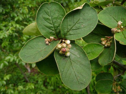 Cotoneaster tomentosus / Filzige Zwergmispel