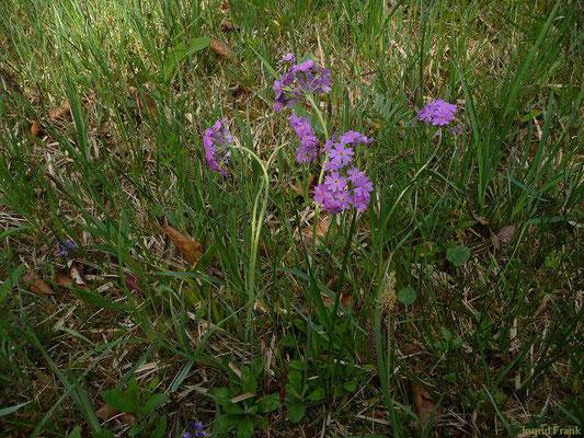 Primula farinosa / Mehl-Primel    V-VII