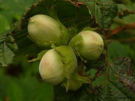 Corylus avellana - Gewöhnliche Hasel