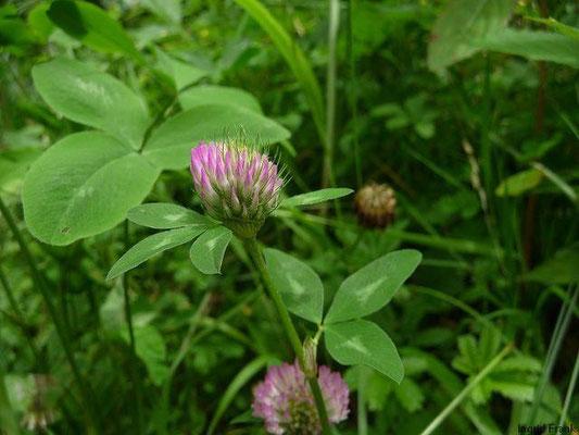 29.04.2010-Trifolium pratense - Wiesen-Klee, Rot-Klee