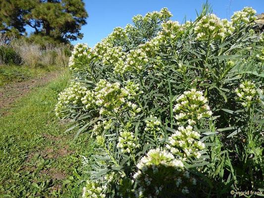 Echium brevirame - Kurzästiger Natternkopf (La Palma)