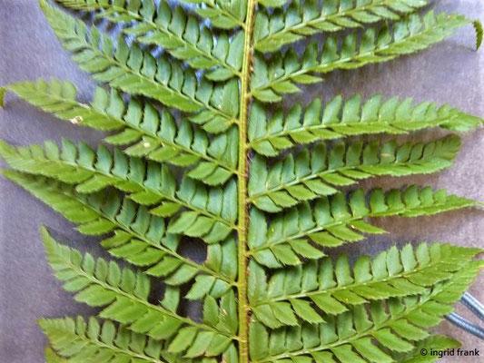 Dryopteris carthusiana / Dorniger Wurmfarn, Dornfarn