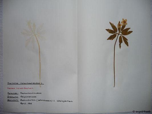 (5) Anemone ranunculoides - Gelbes Windröschen