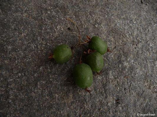 Actinidia arguta - Kleinfruchtige Kiwi