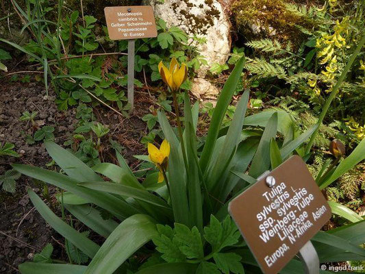 Tulipa sylvestris - Wilde Tulpe